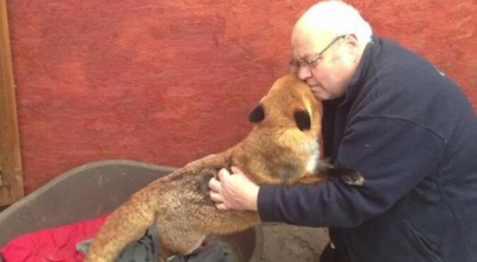 Lis nie przestaje przytulać mężczyzny, który go uratował