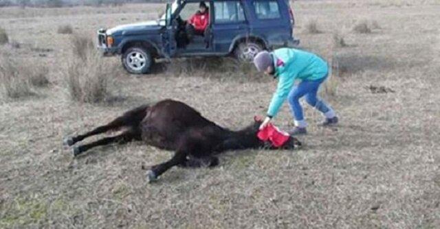 Mężczyzna uwalnia skutego konia. Reakcja zwierzaka podbiła serca ludzi z całego świata