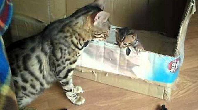Rozmowa bengalskiej kotki i kotka
