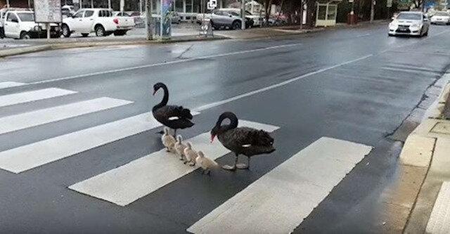 Rodzina łabędzi, przechodzących ulicę, stała się sławna w całym Internecie. Niesamowita dyscyplina