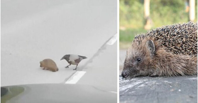 Wrona zdecydowała pomóc jeżowi przejść przez ulicę. Wideo