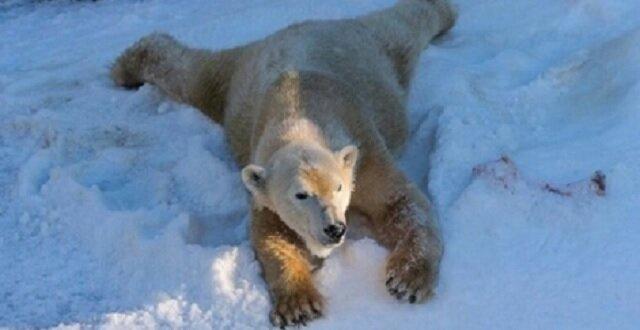 Jak niedźwiedzie polarne w San Diego pokazali swoje emocje taczając się w śniegu. Wideo
