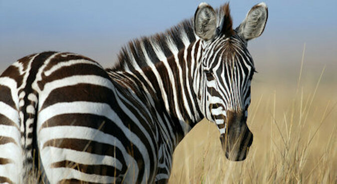 Dzika zebra zaprzyjaźniła się z osłem na farmie i urodziła nieznane zwierzę