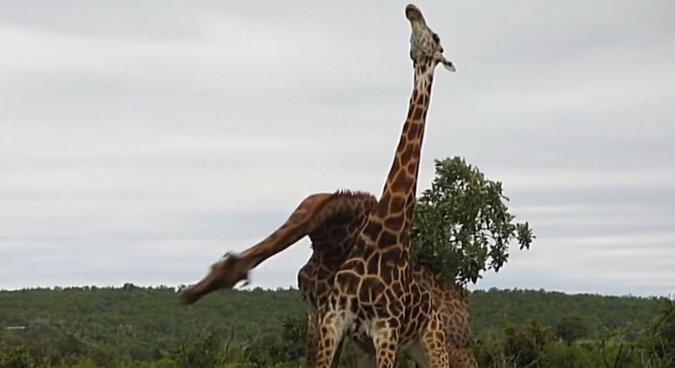 Olimpiada zwierząt: wideo z afrykańskiego parku narodowego