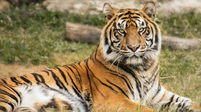 Tygrys ośmieszył się na oczach turystów, ale nie pokazał tego po sobie. Wideo