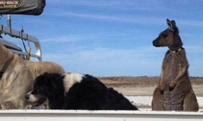 Rodzina uratowała osieroconego kangura. A on teraz uważa siebie za psa