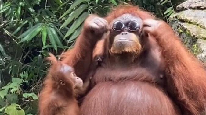 Stylowo: orangutan przymierzył okulary przeciwsłoneczne jednej z osób odwiedzających Zoo. Wideo