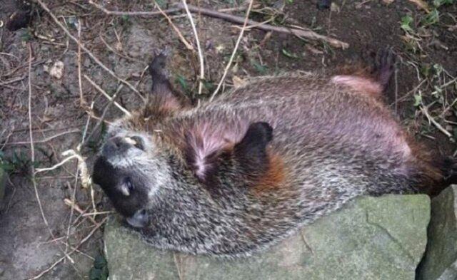 Ślepa samica świstaka leżała na podwórku przez 3 dni, a teraz śpi w łóżku ze swoim wybawcą