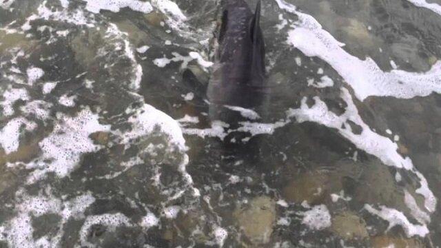 Pies uratował delfina, który utknął na mieliźnie