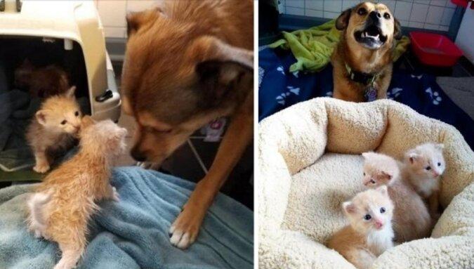 Pies znalazł porzucone kocięta i został ich tatą