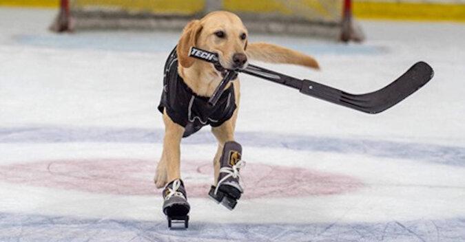 Pies jeżdżący na łyżwach na lodzie. Wideo