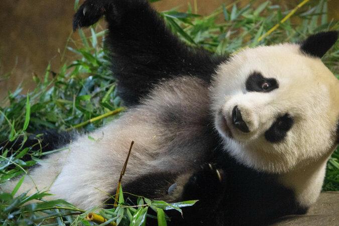 Panda uczy się chować pod kołdrą: wideo