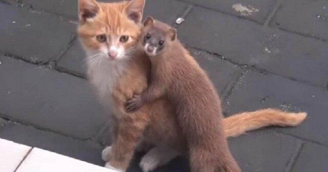 Sieć podbiła niesamowita przyjaźń kotka i łasicy. Wideo