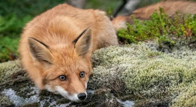 Dziki lis wykonał uroczy atak na fotografa ukrywającego się w krzakach. Wideo