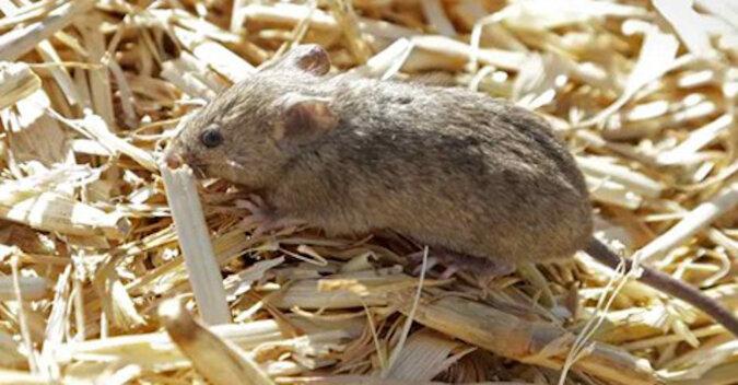 Wideo dla miłośników gry na nerwach: nieokiełznane miliony dzikich myszy