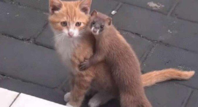 Niesamowita przyjaźń kotka i łasicy, która zauroczyła sieć
