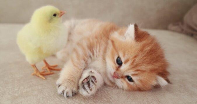 Kociak i kurczaczek zdrzemnęli się razem. Wideo