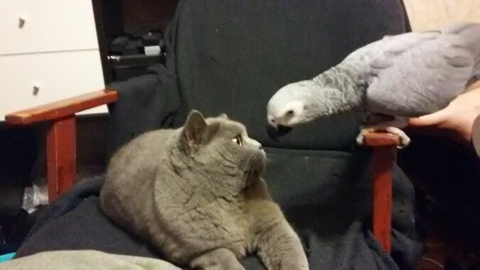 Niespokojne papugi denerwują kotów