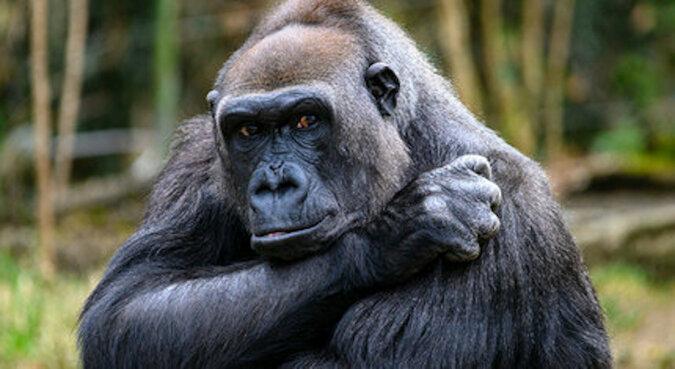 """""""Moje dziecko"""": centrum weterynaryjne nakręciło niesamowity materiał filmowy przedstawiający matkę goryla spotykającą swojego noworodka"""