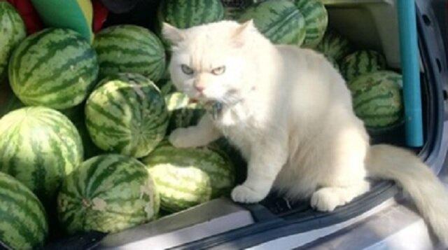 Surowy kot, który strzeże arbuzy na rynku stał się gwiazdą Internetu