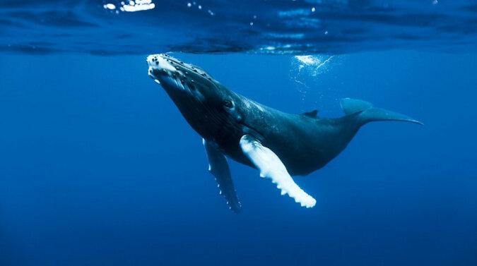 Ogromny wieloryb wyłonił się z wody kilka metrów od nurka. Wideo