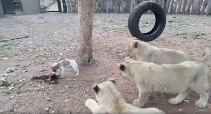 Mały szczeniak odważnie odpędza lwiątka od jedzenia. Zabawny filmik