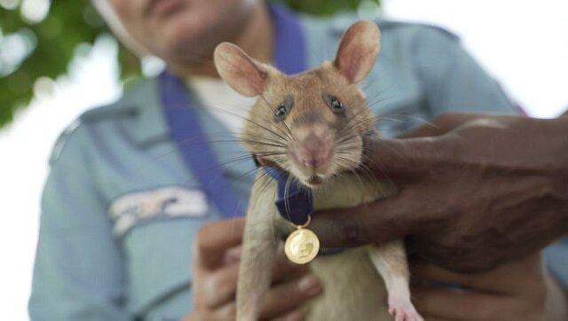 Po raz pierwszy w historii najwyższą nagrodę Wielkiej Brytanii odebrał ... bohaterski szczur