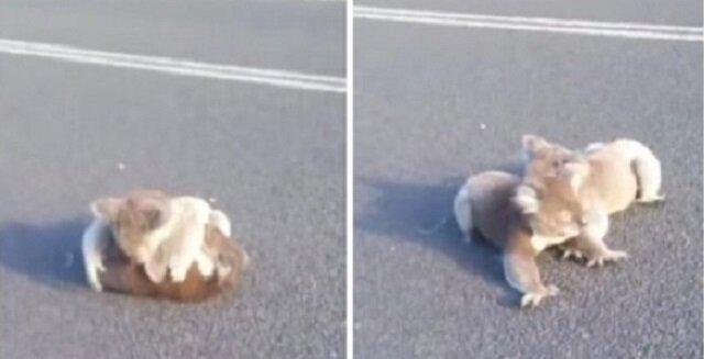 Dziewczynie cudem udało się uratować grających na środku drogi koali