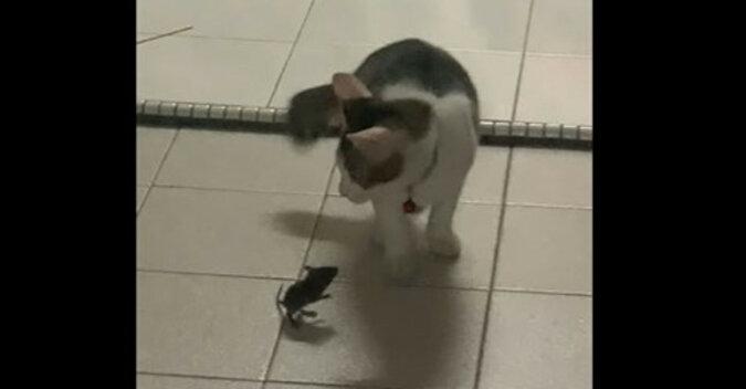Jak Tom i Jerry: mysz sprawiła, że kot uciekł. Zabawne wideo