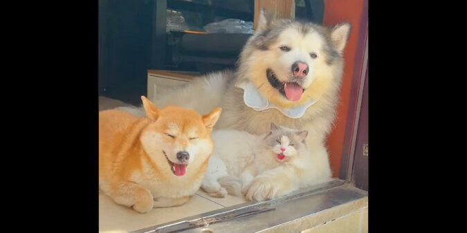 Kot spędził dużo czasu z psami i zaczął oddychać jak pies. Zabawne wideo