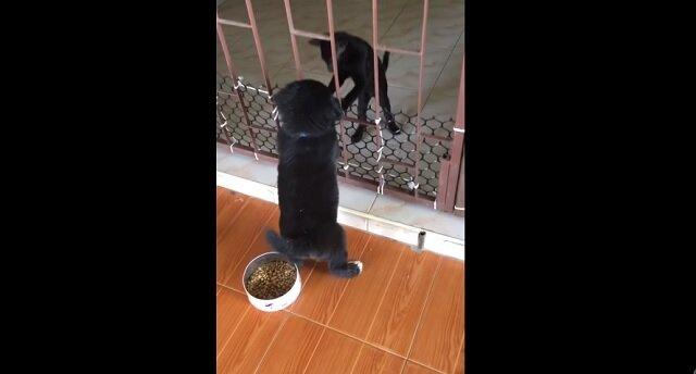 Kociak pomógł grubemu szczeniakowi przejść przez kraty – bardzo zabawne nagranie