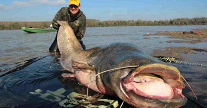Rybacy złowili ogromnego stuletniego suma. Co znaleziono w jego brzuchu?