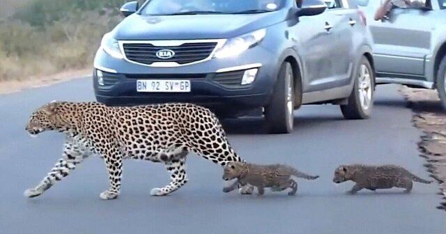 Wyjątkowe ujęcia: mama lamparta przeprowadza swoje kocięta na drugą stronę ulicy