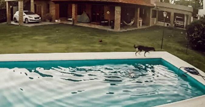 Do basenu wpadł niewidomy pies, ale jego przyjaciel pomógł mu