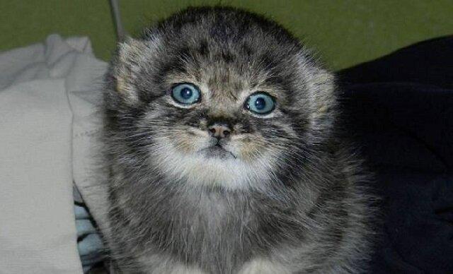 Manul stepowy o imieniu Dasha to dziki kotek, który dorastał w rodzinie ludzkiej