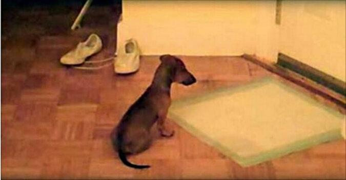 Zabawny szczeniak jamnika spotyka właściciela z pracy tak, że będziesz chciał kupić sobie psa