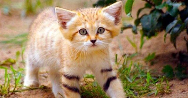 Kot pustynny to najmniejsza rasa kotów – nawet dorosłe osobniki wyglądają jak kocięta