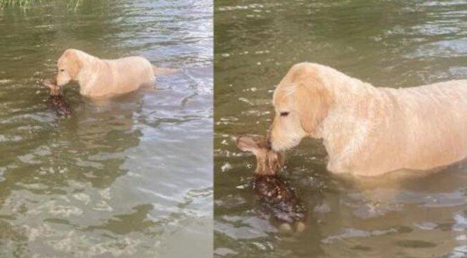 Pies rasy goldendoodle uratował małego jelenia z jeziora