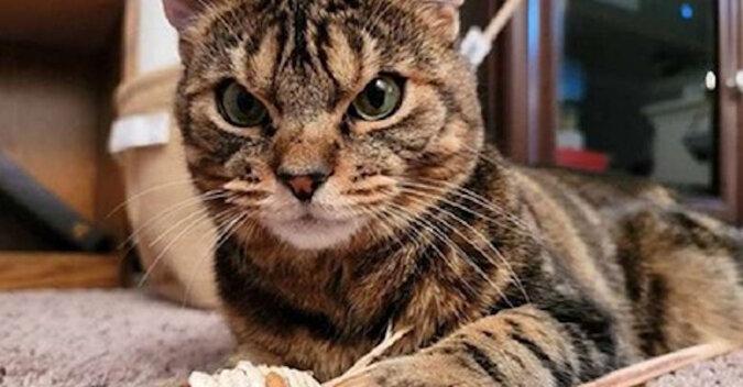 Surowy kot uliczny złagodniał w rękach nowej właścicielki