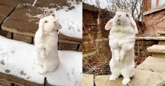 """Śnieżnobiała królica """"Królowa Blanco"""" podbiła cały Internet"""