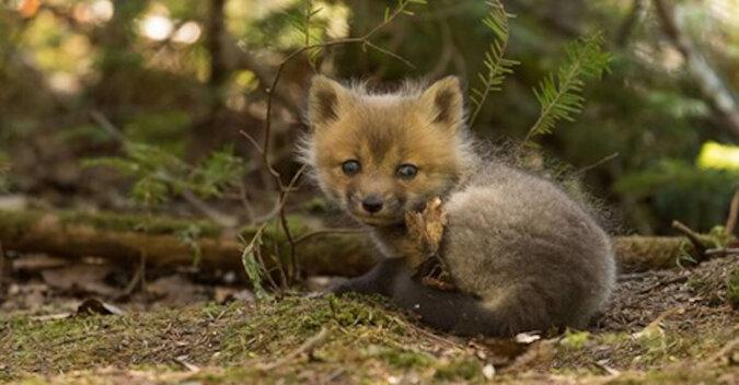 Zobacz jak porzucony lis zmienił się w ciągu zaledwie jednego miesiąca życia z człowiekiem. Wideo
