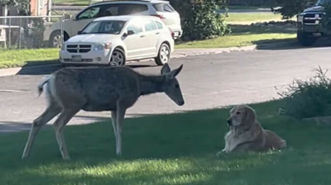 Wzruszające spotkanie jelenia z psem - ciekawość wychodzi poza skalę. Wideo
