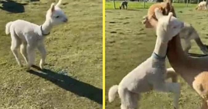 Mała alpaka została zazdrosna o swoją mamę i szybko pobiegła ją przytulić