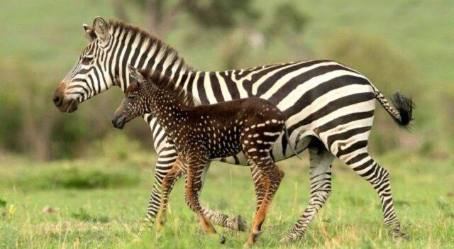 W Kenii urodziła się niezwykła zebra: maleństwo nie jest w paski, a pokryta jest cętkami