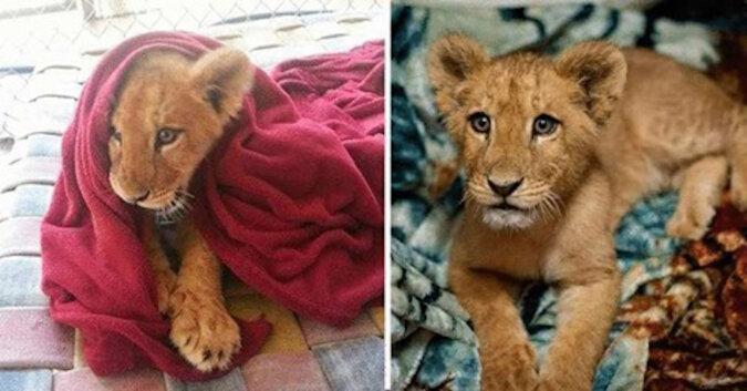 Uratowane lwiątko nie może spać bez koca, mimo że już urósł