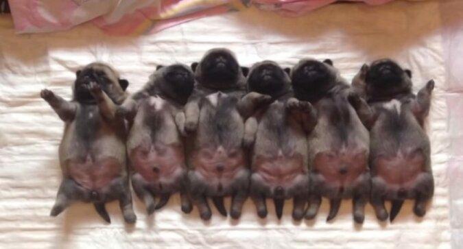 Śpiące szczeniaczki są naprawdę słodkie. Ten film rozstąpi serce każdego