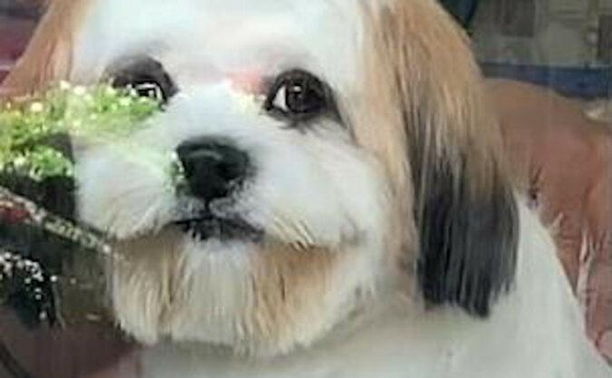 Pozytywny moment: Szczeniak Shih Tzu uśmiecha się do właścicielki podczas wizyty u groomera