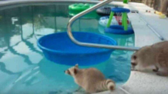 Szopy zdecydowały się popływać w basenie