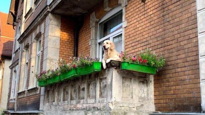 Pies na balkonie stał się nową atrakcją w Gdańsku