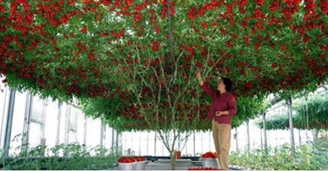 Wspaniałe drzewo pomidorowe wyhodowane w Izraelu
